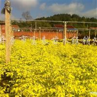 供应金叶复叶槭