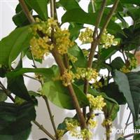 供应彩叶树种金满堂贵桂小苗