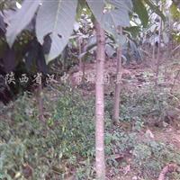 供应2、3、4、5公分七叶树