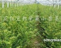 供应红豆杉