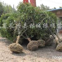 供应地径2-12公分红叶石楠树