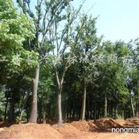 供应全冠移栽20-35公分朴树