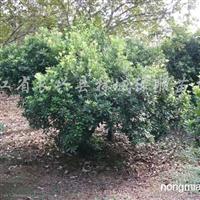 供应1.5-6米冠杨梅
