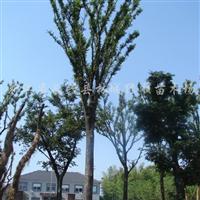 供应全冠移栽20-35公分榉树