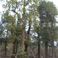 供应熟货菩提树