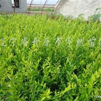 供应金叶水蜡、紫叶水蜡、紫叶小檗、小叶黄杨容器苗