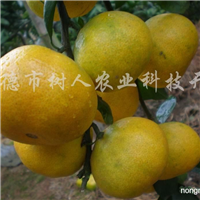 供应特早熟蜜柑的王牌品种大分早生