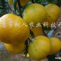 供应大分早生特早熟柑橘苗