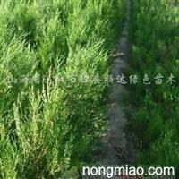 供应侧柏苗50-80-1.5米-2米带营养钵