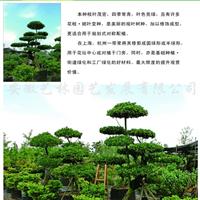 供应造型大叶黄杨