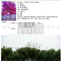 供应中国红枫