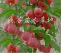 供应海棠果苗