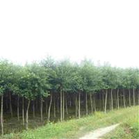 供应10-25公分小叶榕