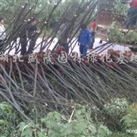 供应荆州香樟树