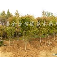 供应7-12公分鸡爪槭