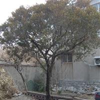供应各种名贵珍稀树种黄杨树、紫树、七叶树、榆树