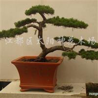 供应黄杨、五针松、榆树、真柏、罗汉松等盆景