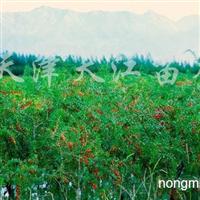 供应枸杞苗木