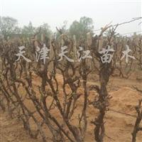 供应夏黑葡萄苗木