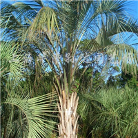 供应布迪椰子