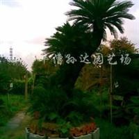 供应特大百年铁树(在售)