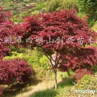 供应各种规格(D2-20)的红枫