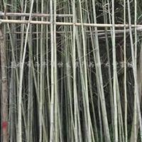 供应凤尾竹、观音竹、青皮竹、粉单竹、紫竹、琴丝竹