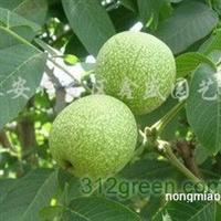 供应核桃树苗、樱桃树苗、山楂树苗等各种规格果树苗