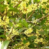 供应木瓜树
