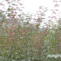 供应一年生红枫小苗