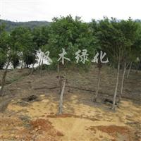 供应小叶榕米径15公分―190元