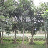 供应小叶榕米径5-40公分