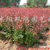 出售红叶小檗