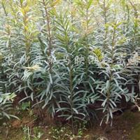 供应红豆杉一年生小苗