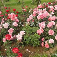 供应月季、丰花月季、玫瑰月季、品种月季、红叶碧桃