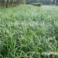 供应麦冬草、葱兰红花草、剑麻蔷薇、连翘、鸢尾