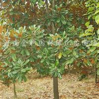 供应合欢、黄山栾树、法桐、青桐、广玉兰