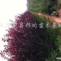 供应女贞、桧柏、红叶小檗、攀爬等各种苗木
