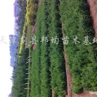 供应各种绿化苗木、花卉、月季、各类菊花、海棠、一串红