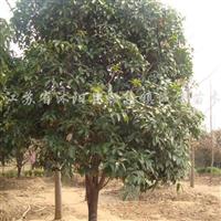 供应各种绿化大小苗木