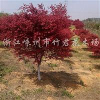供应红枫、鸡爪槭