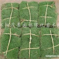 供应马尼拉、四季青、沿阶草、中华结缕草