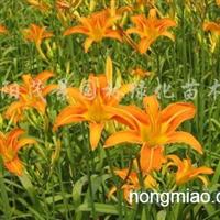 供应大花萱草、鸢尾、葱兰、白三叶、红三叶、红花草