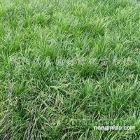 供应红花炸酱草、麦冬草、大叶麦冬草、小叶麦冬草