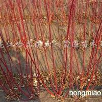 供应偃伏莱木、榆叶梅、红瑞木、珍珠绣线菊