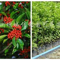 供应白银香苗、万紫千红树苗、铁冬青苗、龙胆仔树苗