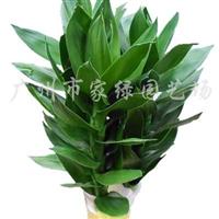 供应花卉植物水培莲花富贵竹(90#)