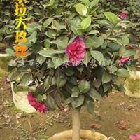 供应贝拉大玫瑰茶花