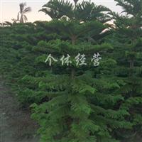 供应1米-3米高南洋杉