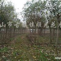 供应胸径3-20公分菩提榕